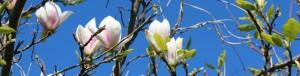 Magnolia til hemsida